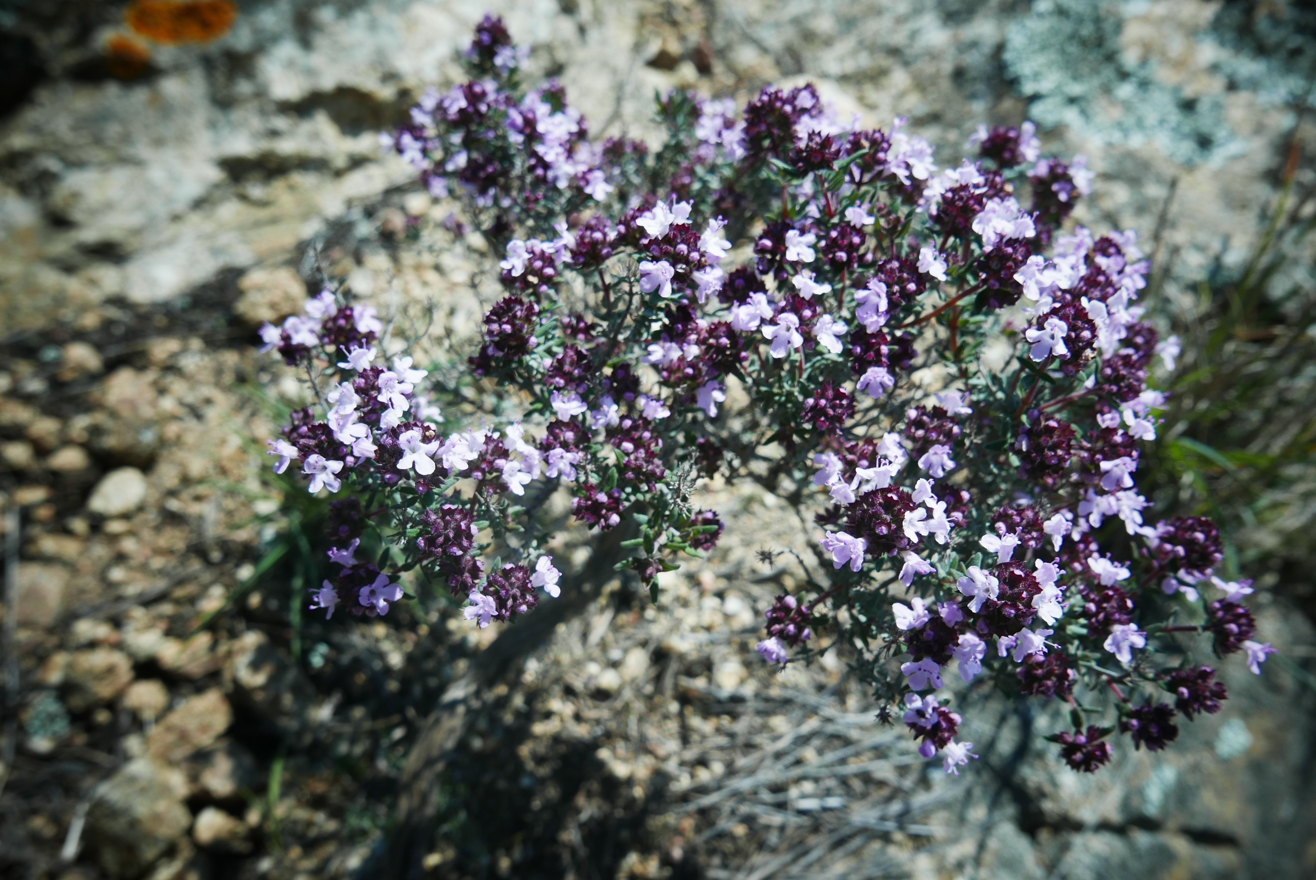 Flor de tomillo en Can Torras